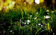 Cánh Hoa Dại Màu Trắng Nhỏ Xíu Trong Đám Cỏ Xanh